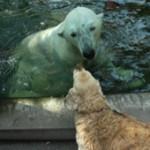 Psima ocima = medved